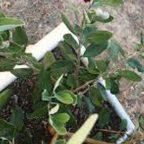 Фейхоа выращивание в домашних условиях