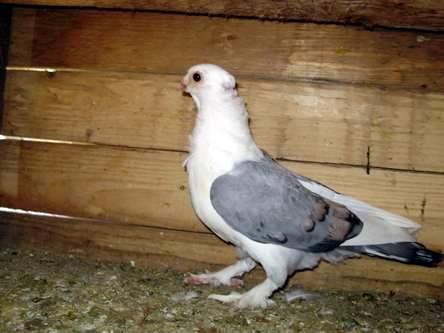 Содержание мясных голубей