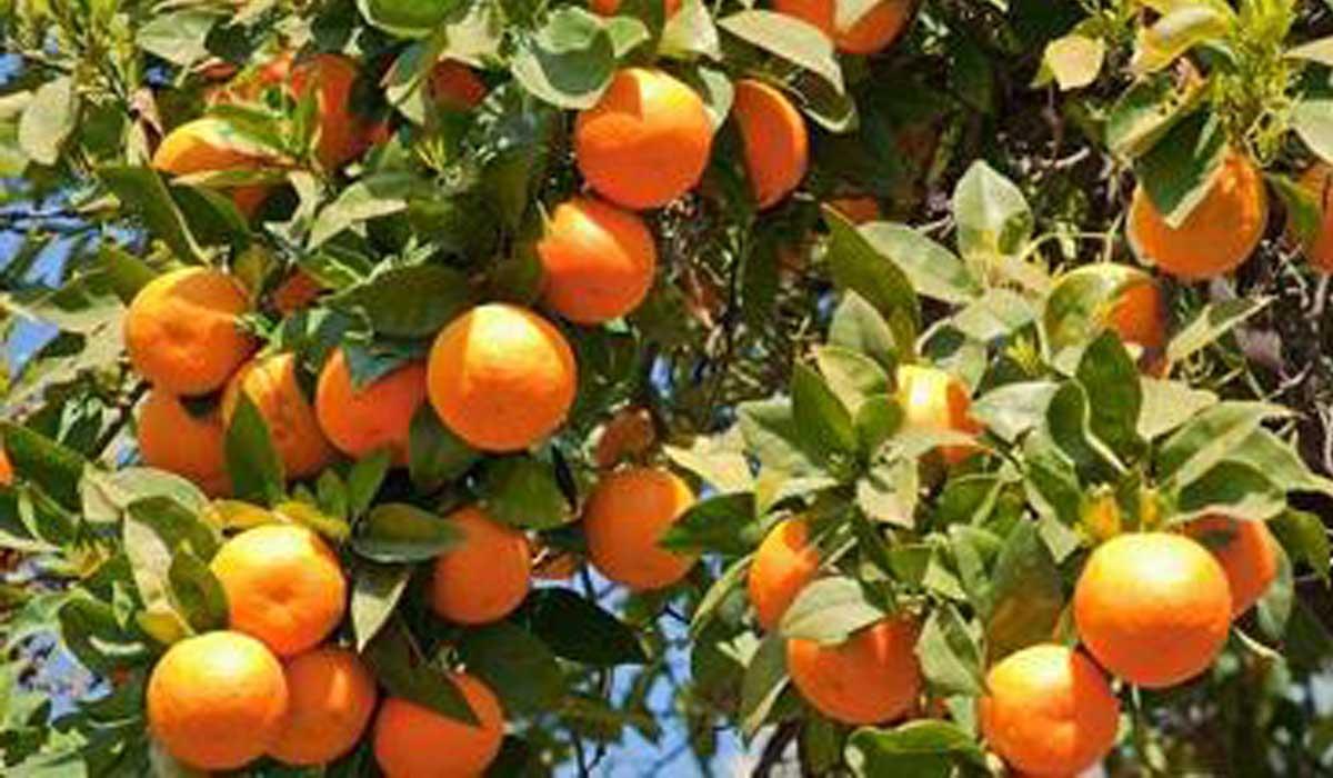 Выращивание апельсина в домашних условиях