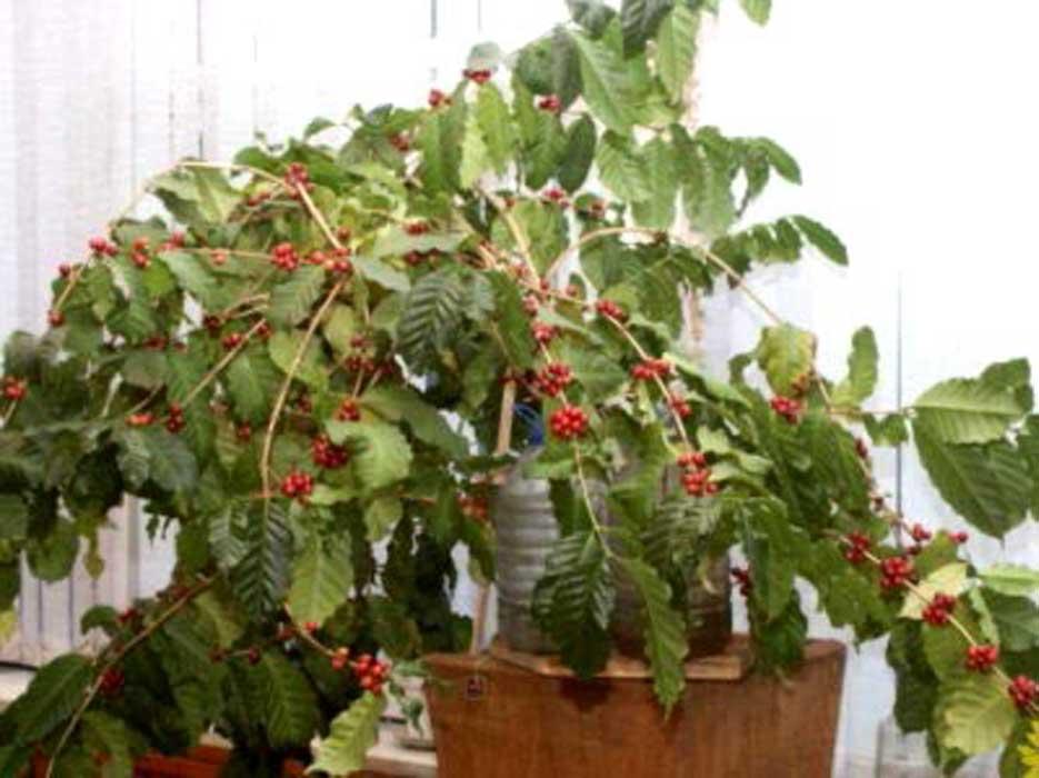 Кофейное дерево в домашних
